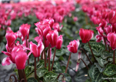 A Pre-Intro in the Metis series is Lilibelle Magenta (exp.). THis variety is a cross of Victoria and Fantasia.