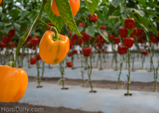 The pepper varieties at the demo greenhouse from De Ruiter and Seminis.
