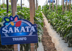 The varieties of Sakata showcased in a demo greenhouse.