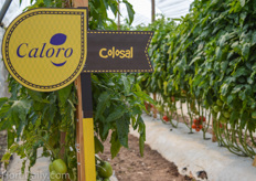The varieties of Caloro showcased in a demo greenhouse.