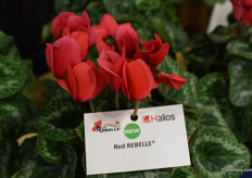 A new cyclamen of Morel Diffusion in the Halios line, named: Red Rebelle