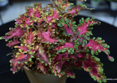 The Coleus Under The Sea variety of Hort Couture.