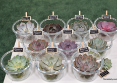 The succulents of Succulents Unlimited BV.