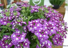 Verbena Lanai Up van FloriPro Services De Verbena Lanai is a known variety. It is now available as a hanging plant.
