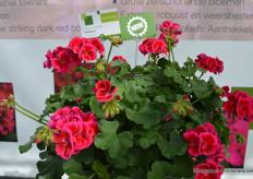 Caliope Red Splash of FloriPro Services Syngenta. De Calliope Red Splash has flowers during the whole summer.