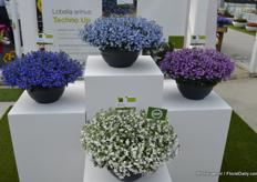 Techno Up is the upgoing Lobelia of Syngenta. It was already available as a hanging plant; Techno Heat.