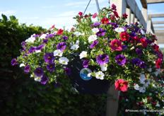 The Calibrachoa Caberet Mix Masters Revue of Florensis in the Grow and Go hanging basket of Desch Plantpak.
