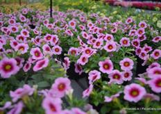 The Conga: Pink Kiss (Calibrachoa x hybrid) is compact and very suitable for garden tables. It will be on the market in spring 2016. De Conga series consists of 4 colors.
