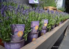 The Lavender with a new concept; Essence. With this concept, Florensis is trying to increase the popularity of the lavender in the market. Essence is winter hardy and flowers 10 days earlier than the well-known Hidcote.