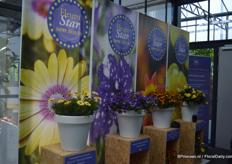 The Blue Eyed Beauty (on the left) is part of the Serenity series (Osteospermum ecklonis) of Florensis. This plant was nominated for the Fleurostar award because of the yellow colored flowers with the bright eye.