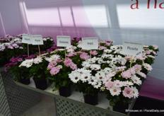 The Rosita is added to the Dalina Osteospermum series. It has more color than the Rozia.
