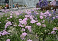 Scabiosa 'Kudo'. At the Spring Trials in California it was awarded with the Editor's Choice award.