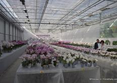 The shining presentation of Hassinger Orchids