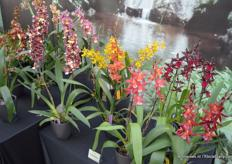 Hassinger Orchids presented a few exclusive orchid varieties..