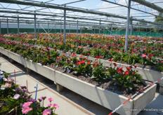 A pretty view: flowering gerbera's in all different colors at Florist Breeding