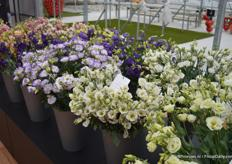 The lisianthus is one of the main products of Sakata