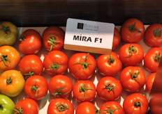 Unform loose tomato ; Mira F1 from Bircan seeds.