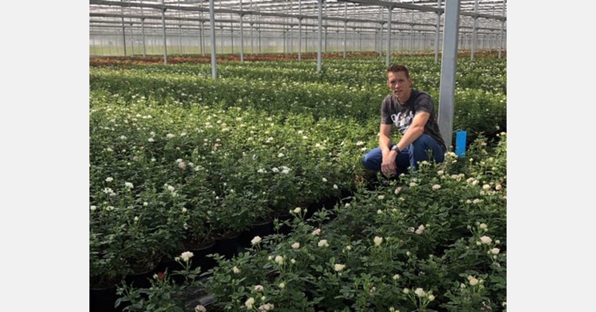Emsflower Supplies 700 000 Terrazza Pot Roses Every Year